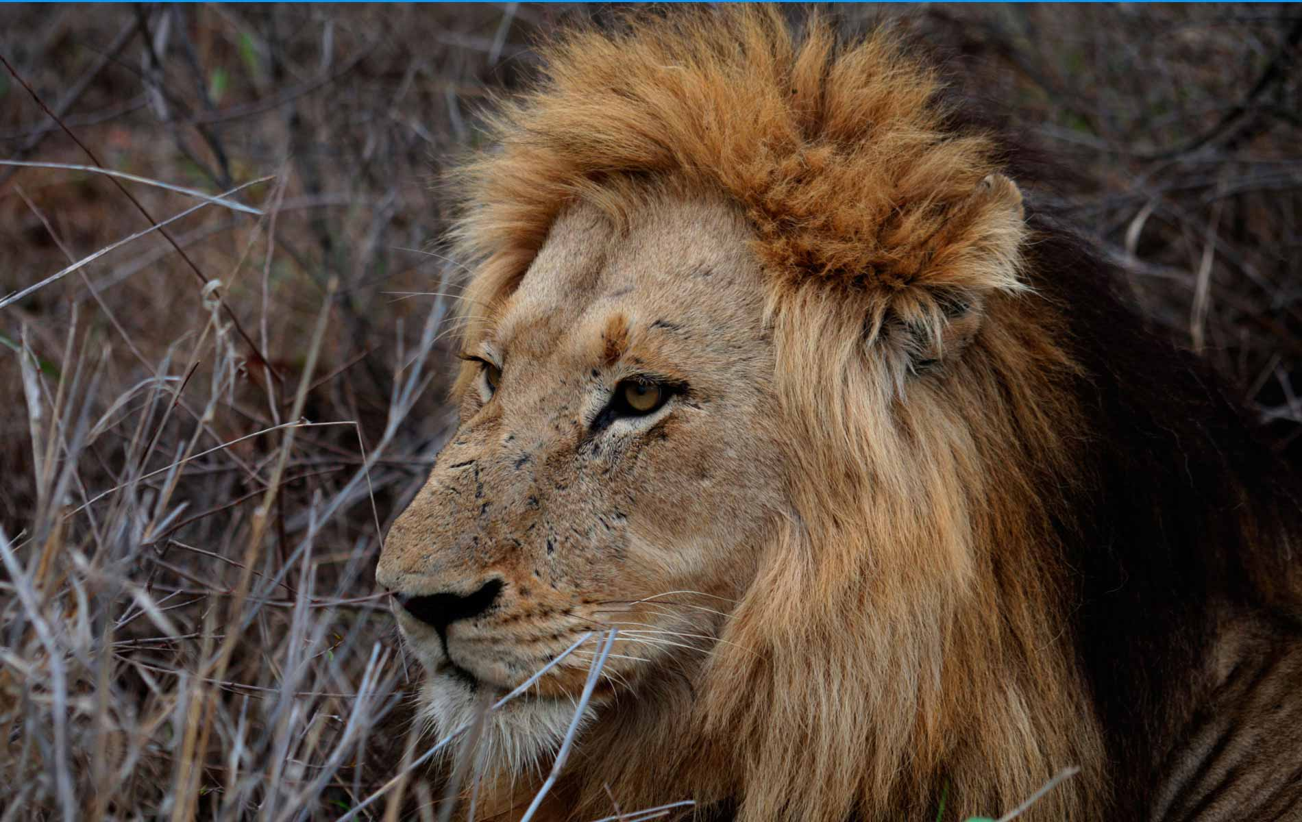 """The King Lion - One of """"The Big Five Game"""" - © Graziano Villa"""