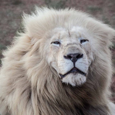 """The Legend of """"The King of the Kings"""" : the WHITE LIONS"""