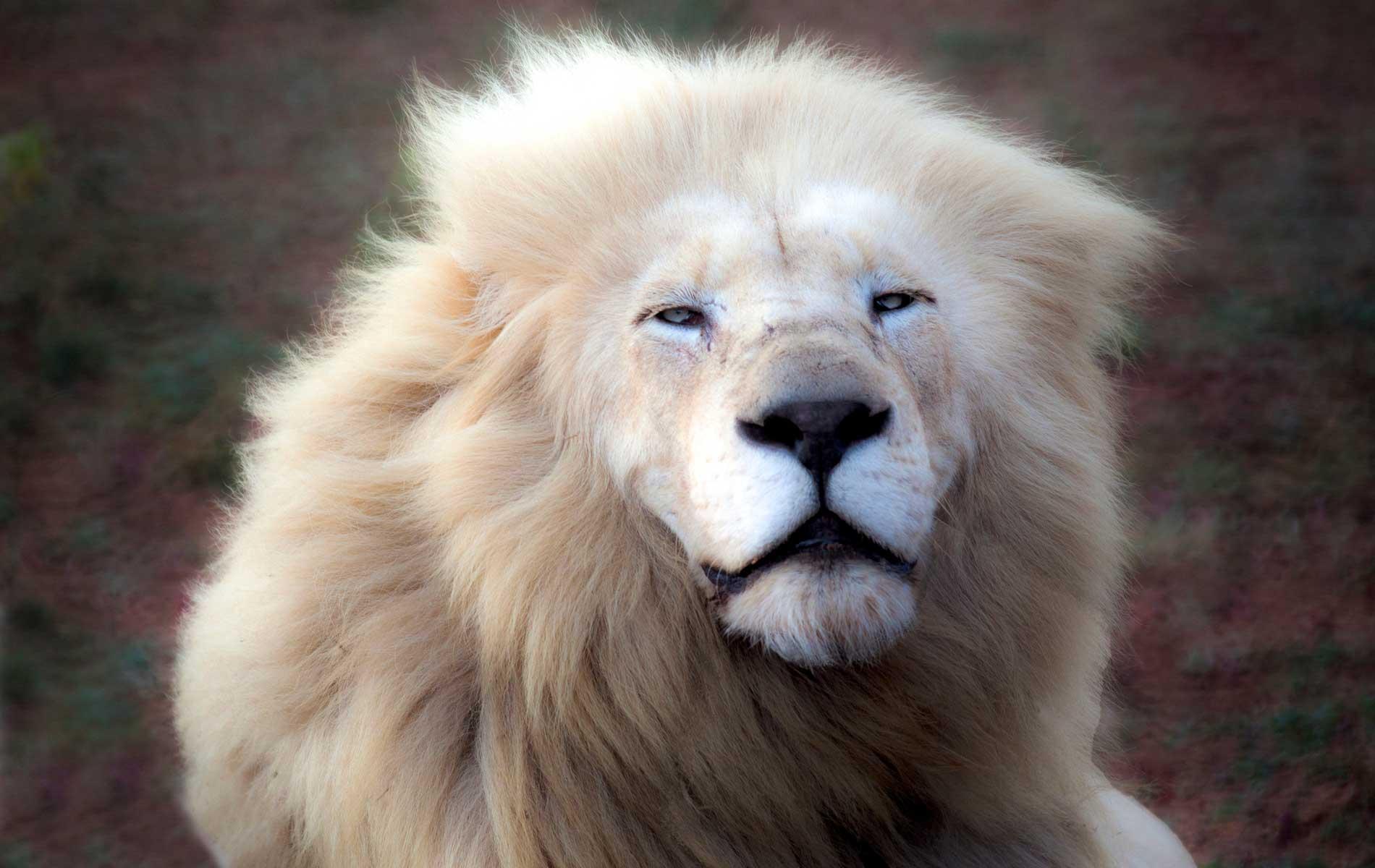 "The WHITE LIONS LEGEND for ""TRAVELLER"" Magazine"